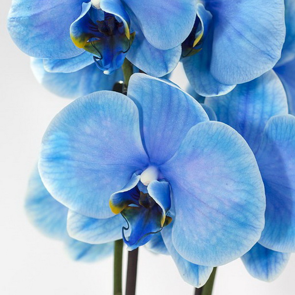 orchid 1484567_600