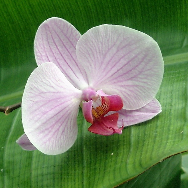 orchid 2074002_600